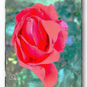 1306324083_rose2_new_weekly_top