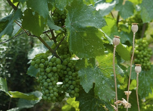 Виноградник Монмартра