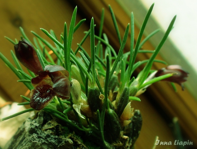 Maxillaria (Christensonella) vernicosa - крупным планом