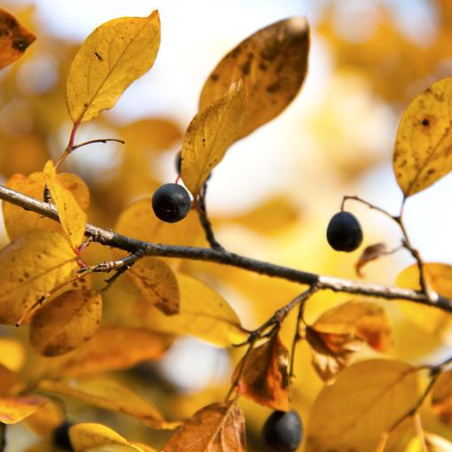 Ягоды. Желтые листья