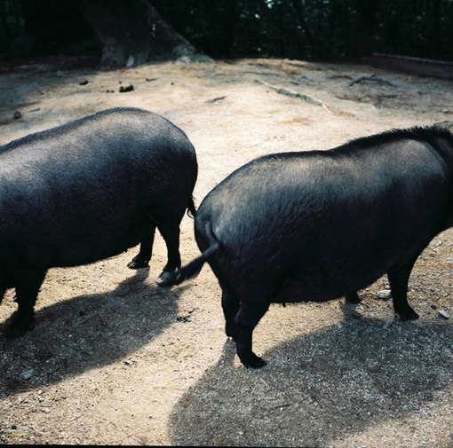 the tale of two pigs