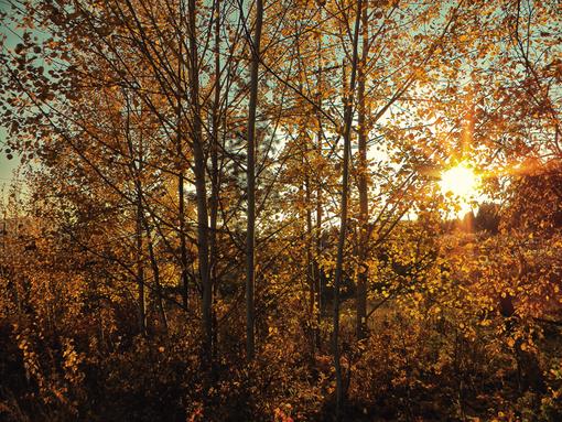Осенние березы.png