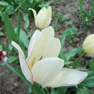Тюльпаны Dragana