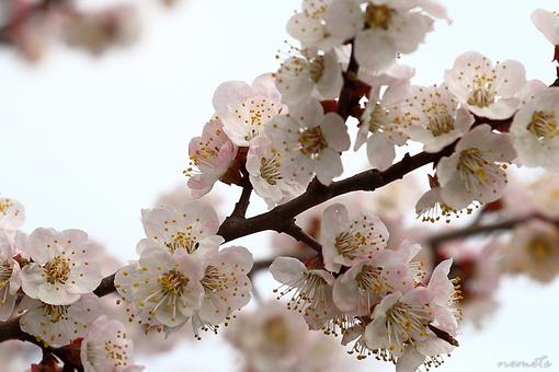 Цветение абрикоса (1).