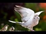 Андрей Жилин - Голубиная песня (Pegeon's Song 鳩の歌)