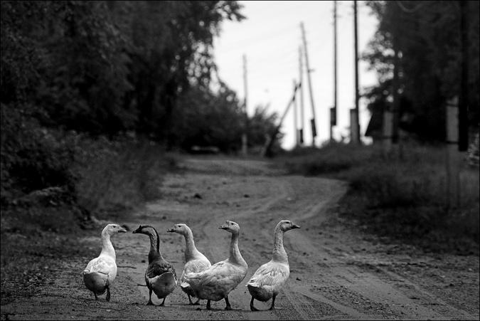 Летняя деревенская чб картинка с гусями в Новинке