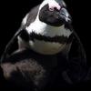 pingvin11